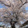 100年桜